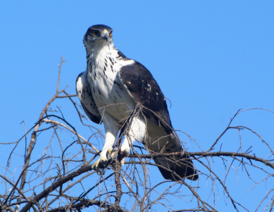 African Hawk-Eagle (Aquila spilogaster) – Planet of Birds