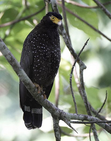 Andaman Serpent Eagle