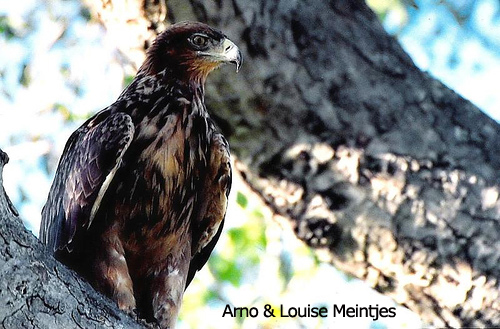 Ayress Hawk-Eagle
