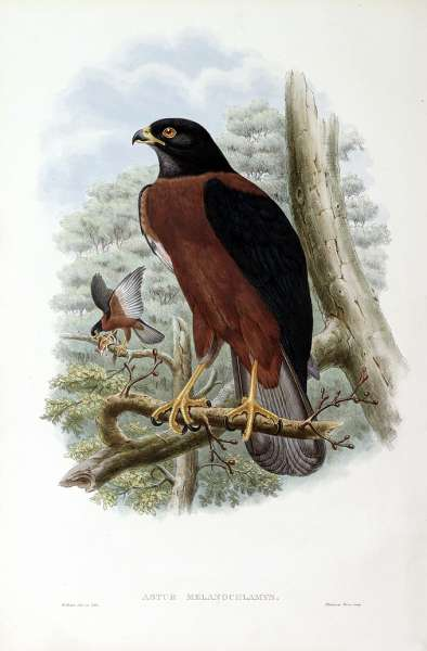 Black-mantled Goshawk