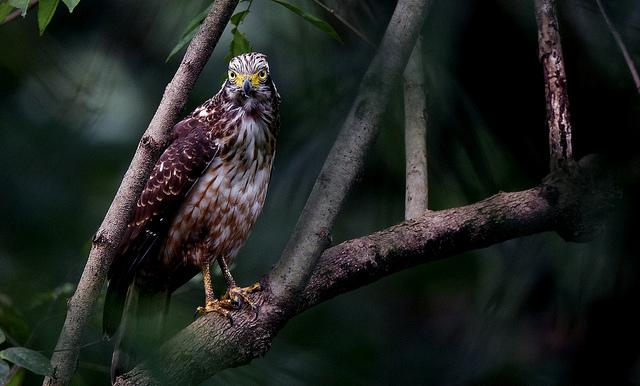 Great Nicobar Serpent Eagle
