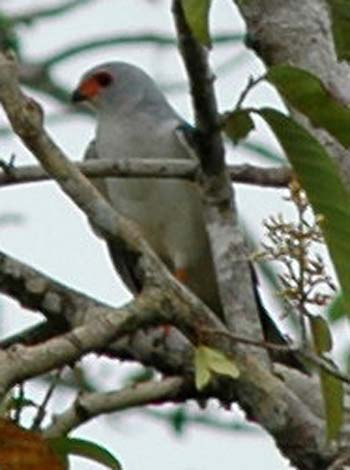 Grey-headed Goshawk