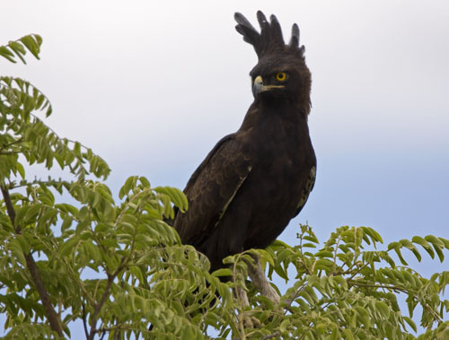 File:Long-crested Eagle.jpg - Wikimedia Commons