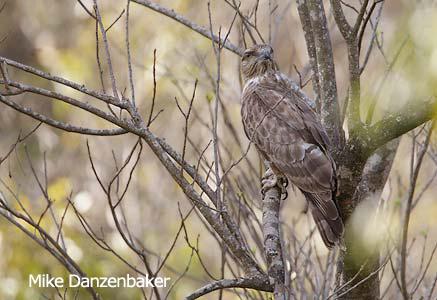 Fauna impressionante de Madagascar. Madagascar%20Cuckoo-Hawk