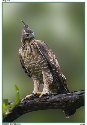 Merlin  Hawk Mountain Sanctuary Raptor Conservation