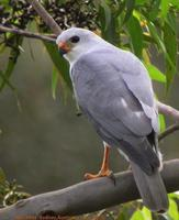 New Britain Goshawk
