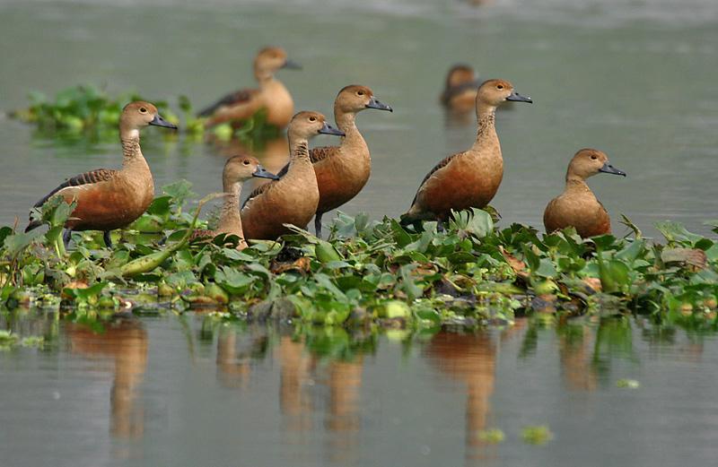 Lesser whistling duck - photo#3