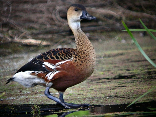 Wandering Whistling Duck