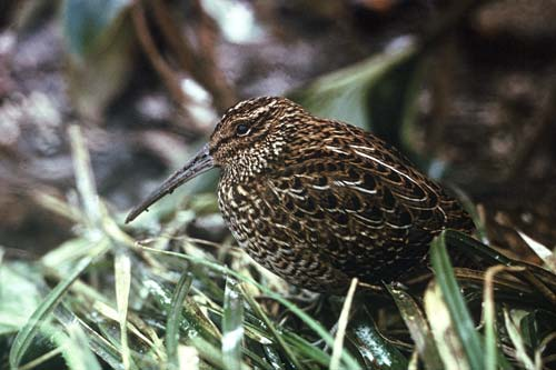 South Island Snipe