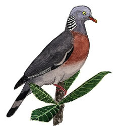 Long-toed Pigeon