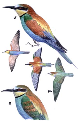 european bee eater merops apiaster planet of birds