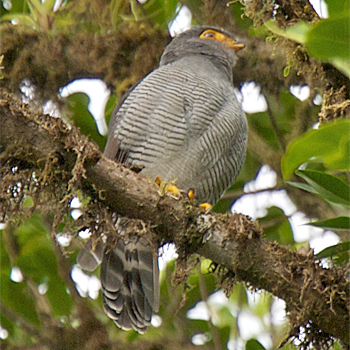 Barred Forest Falcon