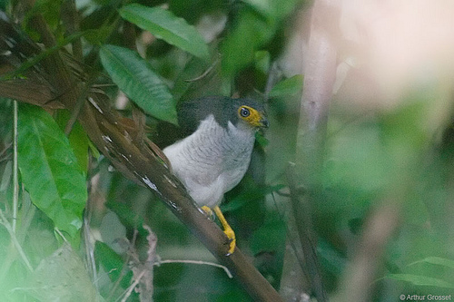 Lined Forest Falcon