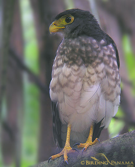 Slaty-backed Forest Falcon