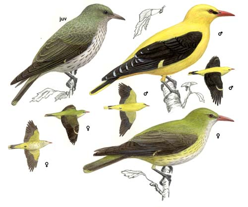 Golden-Oriole