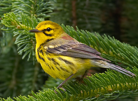 Prairie Warbler (Dendroica discolor) North American birds ...