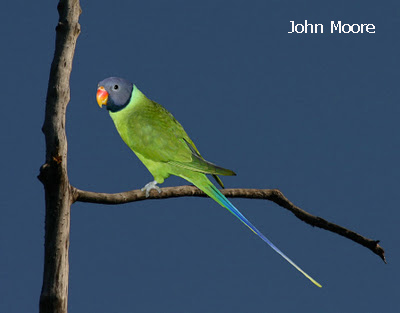 Grey-headed Parakeet