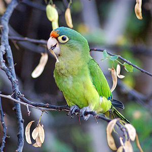Orange-fronted Parakeet