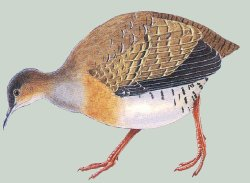 Red-legged Tinamou