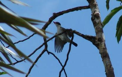 Black-tailed Tityra