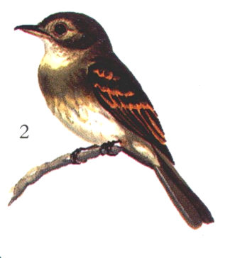 Eulers Flycatcher