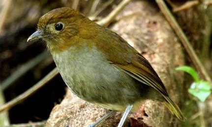 Fenwicks Antpitta