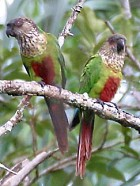 Hellmayrs Parakeet