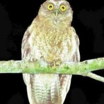 Little Sumba Hawk-owl