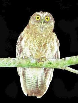 Little Sumba Hawk-owl