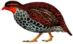 Rubeho Forest-partridge