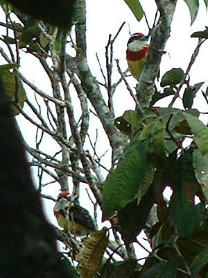 Scarlet-banded Barbet