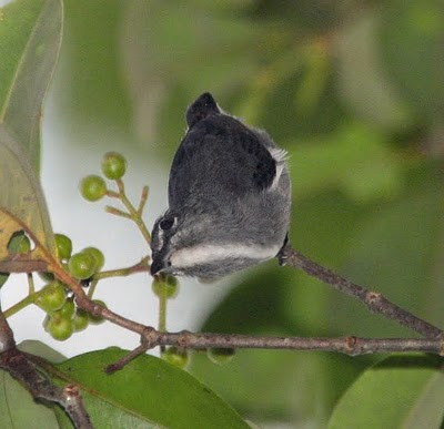Spectacled Flowerpecker