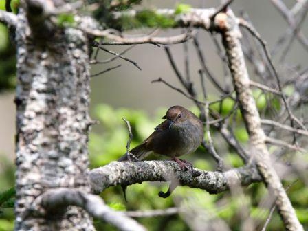 Taiwan Bush-Warbler