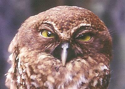 Togian Hawk-owl