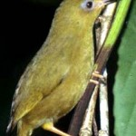 Vanikoro White-eye