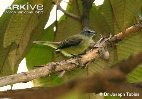 Yungas Tyrannulet