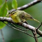 limestone leaf warbler