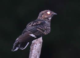 mees nightjar