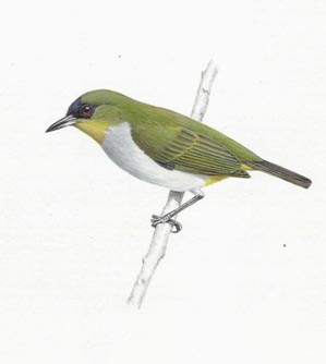 togian white-eye