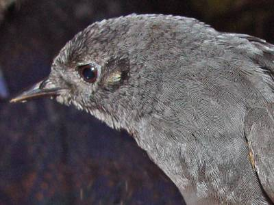 upper magdalena tapaculo