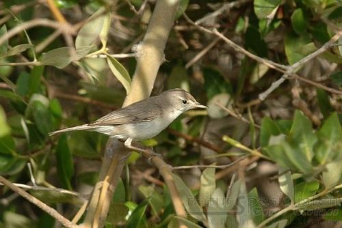 Sykess Warbler