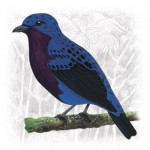 Purple-breasted-Cotinga