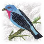 Spangled-Cotinga