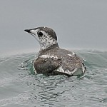 Kittlitzs Murrelet