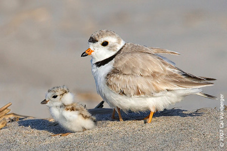 Baby piping plover - photo#20
