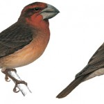 Bonin Grosbeak