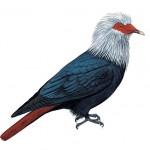 Mauritius Blue-pigeon
