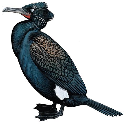 Resultado de imagen para Phalacrocorax Perspicillatus