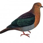 Tanna Ground-dove