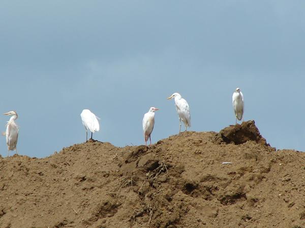 Cattle Egrets resting